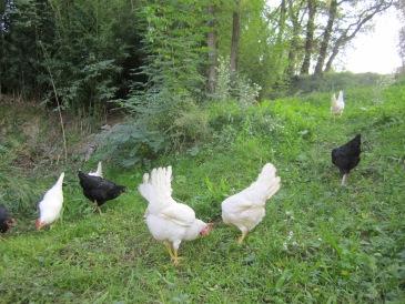 gallines eco